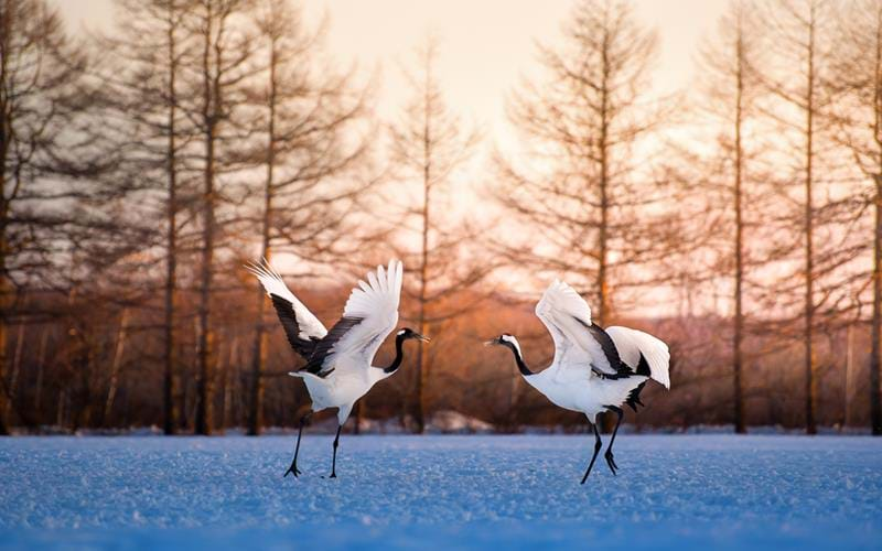 Red crowned crane dancing in a wintery landscape on Hokkaido Island, Japan
