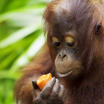 Fighting for Survival: Saving the Orangutan in Borneo