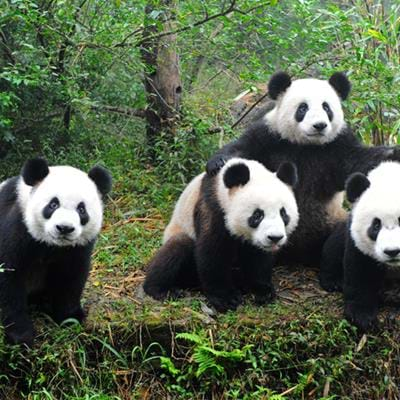 In focus: the Chengdu Research Base of Giant Panda Breeding